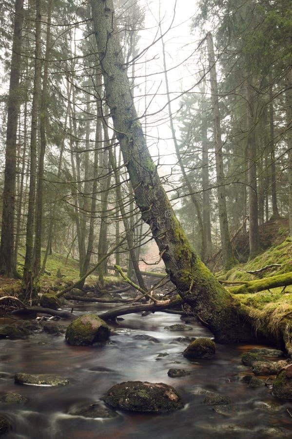 Verbogener moosiger Baum, der über einem Strom im Wald sich lehnt stockfotografie