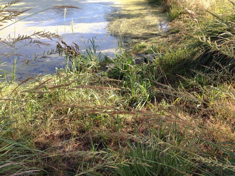 Verborgen alligator royalty-vrije stock fotografie