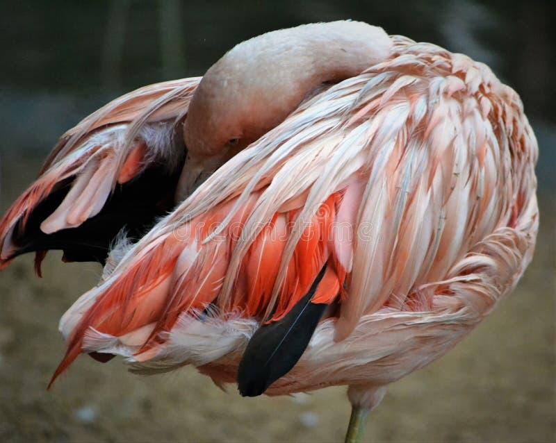 Verborgen Flamingo stock afbeelding