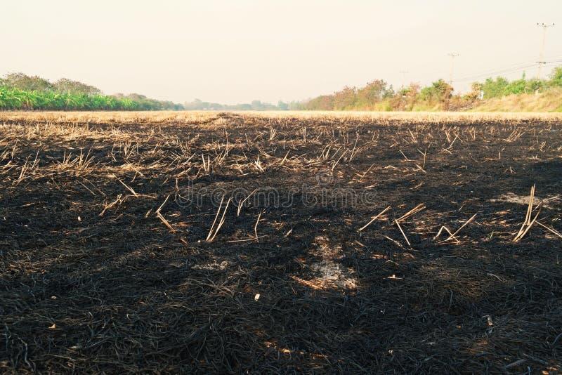 Verbrennungsstroh auf dem Reis geernteten Gebiet stockfotografie