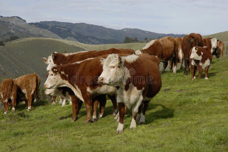 Verdachte Koeien royalty-vrije stock fotografie