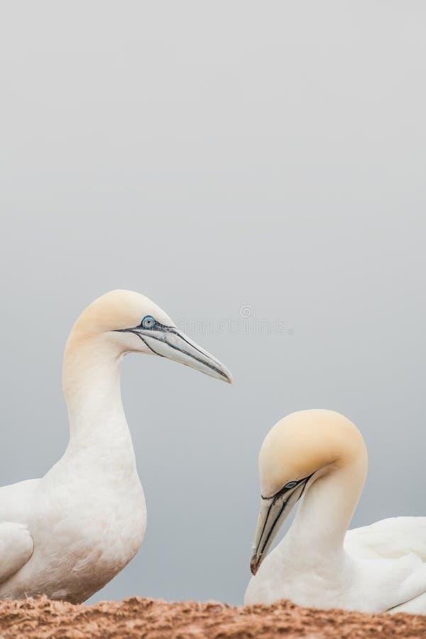 Verdad amantes, pares de gannets salvajes de Atlántico Norte imagenes de archivo