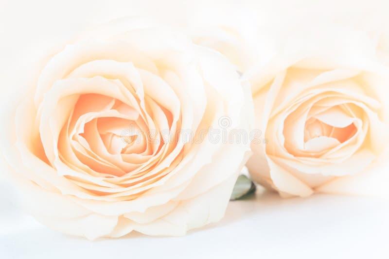 Verdaderas rosas delicadas suaves como fondo neutral Cierre para arriba foto de archivo libre de regalías