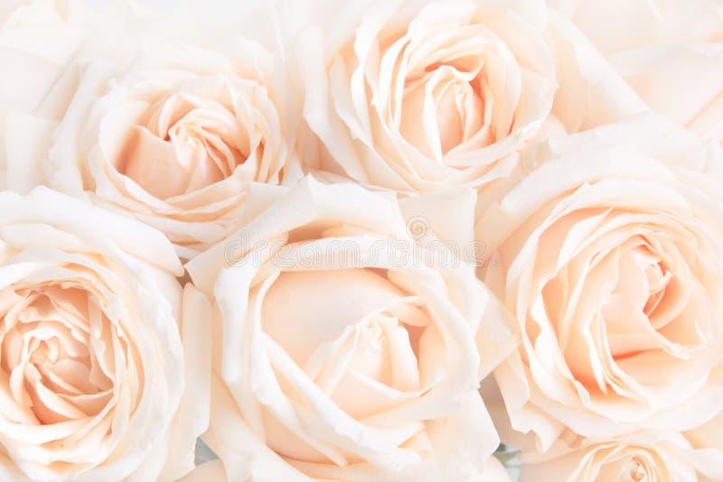 Verdaderas rosas delicadas suaves como fondo neutral Foco selectivo fotografía de archivo