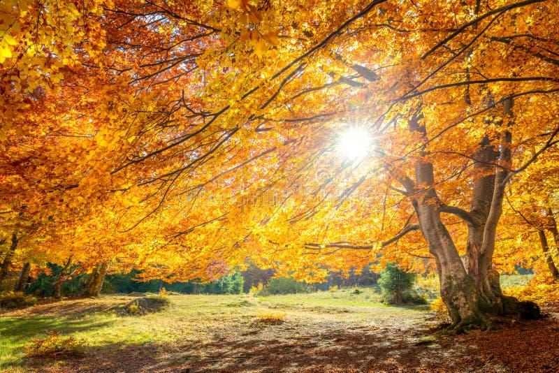 Verdadero sol y paisaje otoñal - gran bosque árbol dorado con luz solar fotografía de archivo