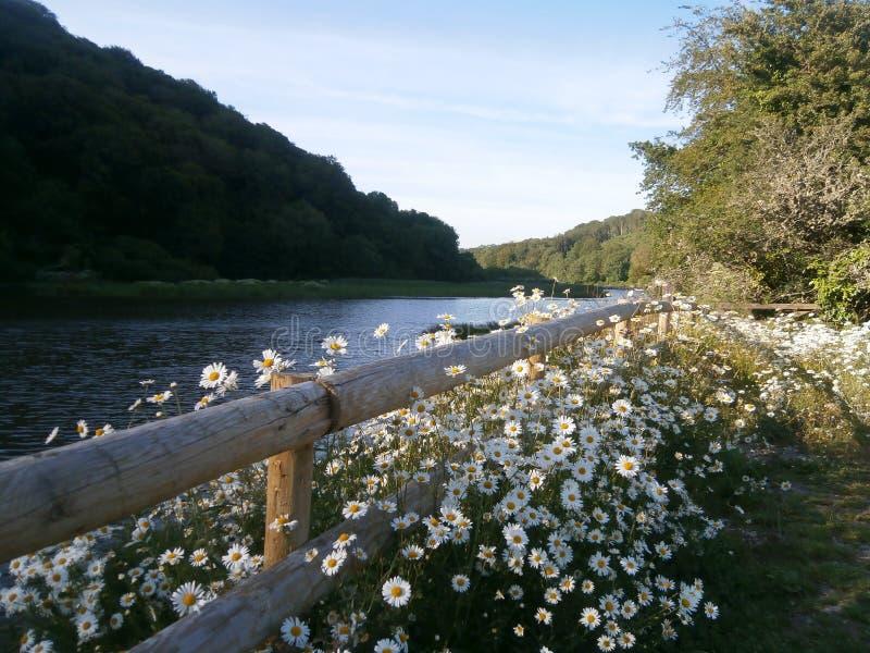 Verdammung und Gänseblümchen Lopwell, die wild wachsen lizenzfreies stockbild