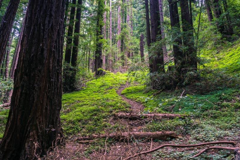 Verdant δάσος redwood  redwood sorrel μεταξύ των δέντρων  Καλιφόρνια στοκ φωτογραφία με δικαίωμα ελεύθερης χρήσης