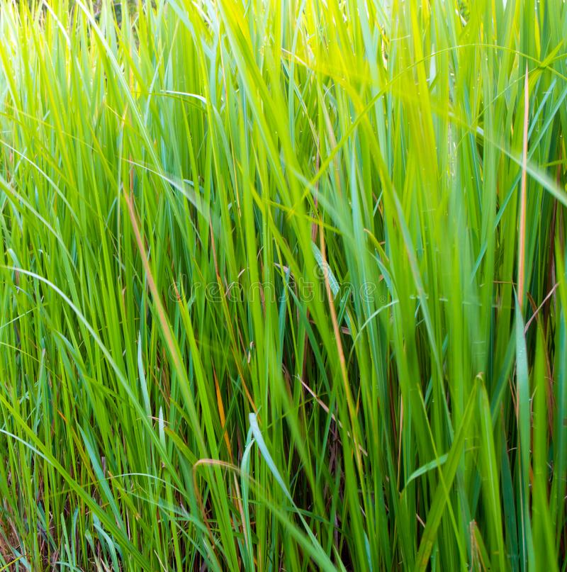 Verdant πράσινος φρεσκάδας Vetiver της λεπίδας χλόης στοκ φωτογραφία με δικαίωμα ελεύθερης χρήσης