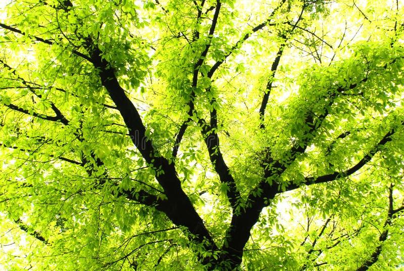 Download Verdant banyan tree stock image. Image of burgeoning, tropical - 4702191