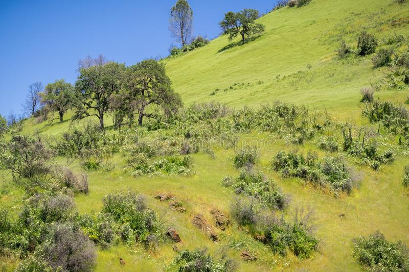 Verdant hills covered in Morning Glory flowers, Stebbins Cold Canyon, Napa Valley, California stock photography