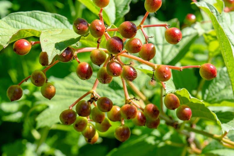 Verdant viburnumbessen die in de tuin tijdens de zomertijd groeien stock afbeeldingen
