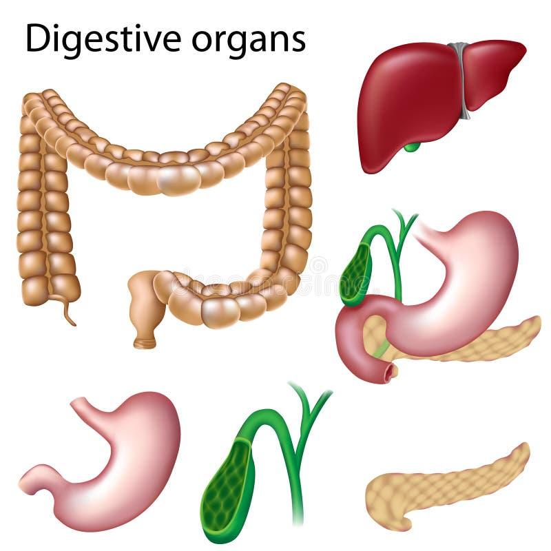 Verdauungsfördernde Organe getrennt lizenzfreie abbildung