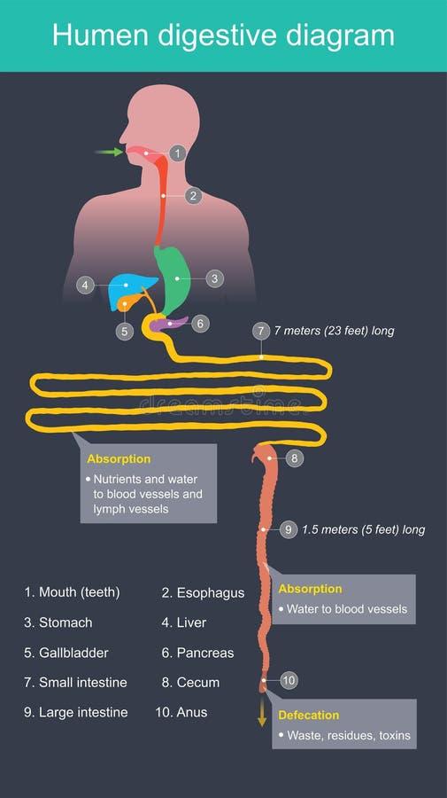 Verdauungsförderndes Diagramm Humen stock abbildung
