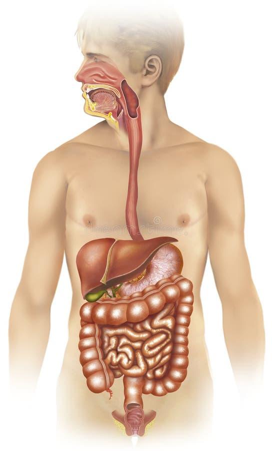 Verdauungssystem stock abbildung. Illustration von verdauung - 29529235