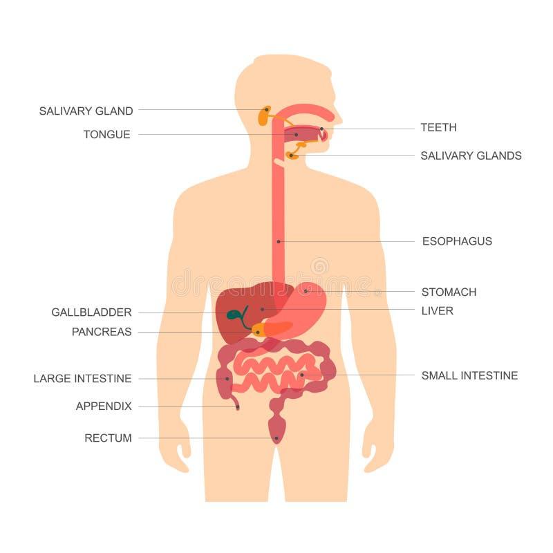 Verdauungssystem, vektor abbildung. Illustration von ösophagus ...