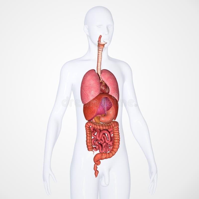 Verdauungssystem Mit Körper Stock Abbildung - Illustration von ...
