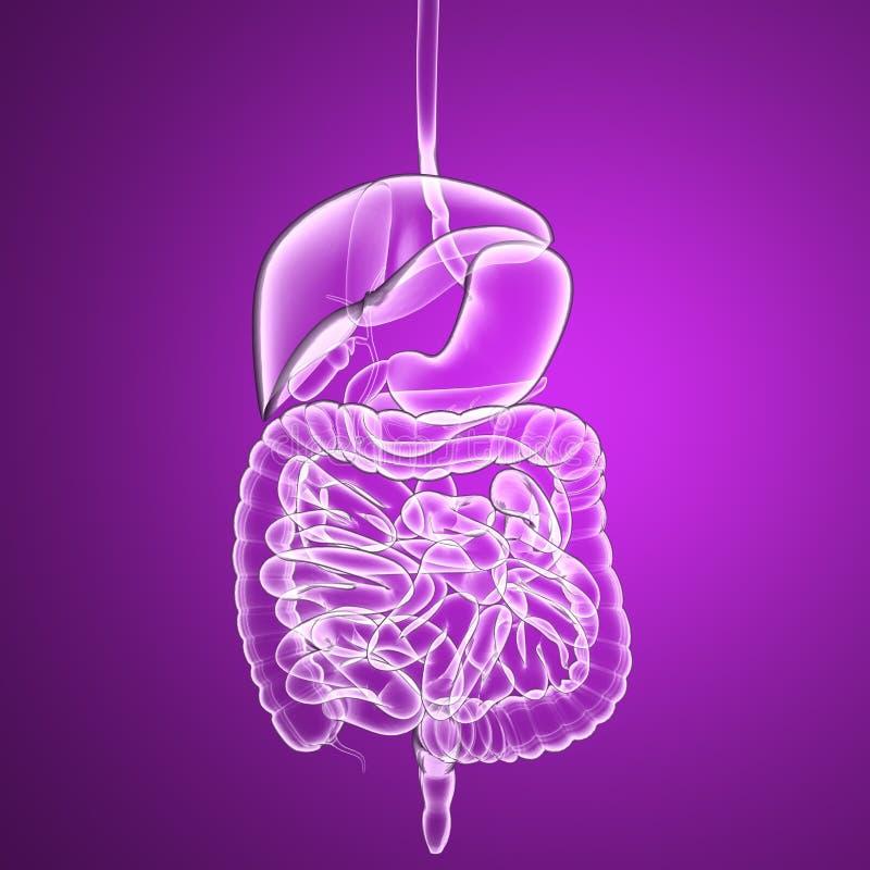 Verdauungssystem, Röntgenstrahl Des Menschlichen Körpers Der Inneren ...