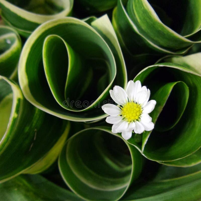 verde branco da flor fotos de stock