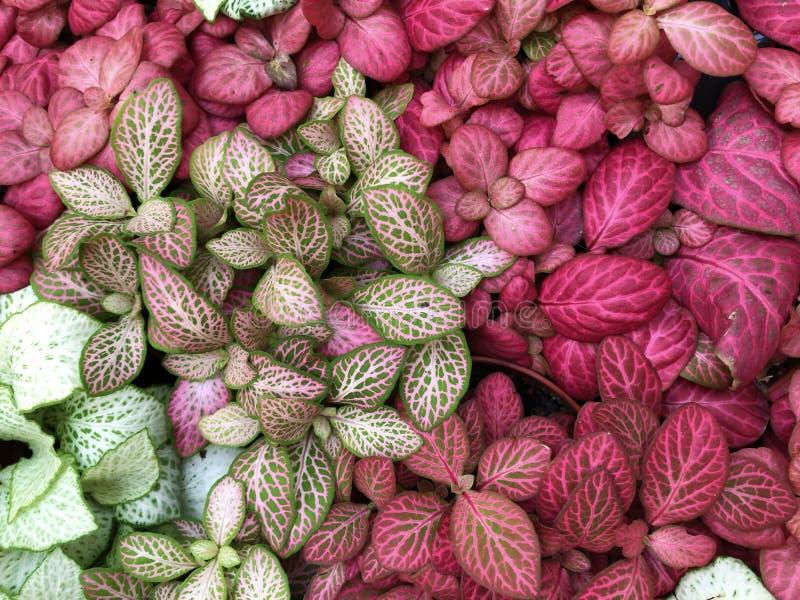 Verde claro con las flores rojas de las venas del fittonia exótico de la planta imagenes de archivo