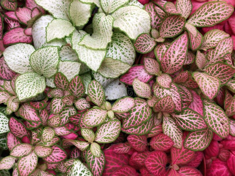 Verde claro con las flores rojas de las venas del fittonia exótico de la planta imagen de archivo