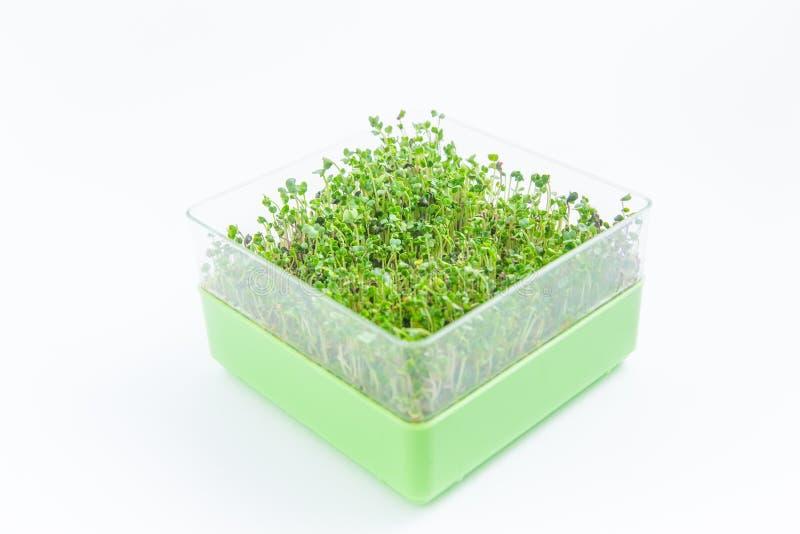 Verde claro microgreen los canalones en un fondo blanco fotografía de archivo