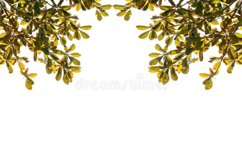 Verde con las hojas anaranjadas en el árbol aislado en el fondo blanco imágenes de archivo libres de regalías