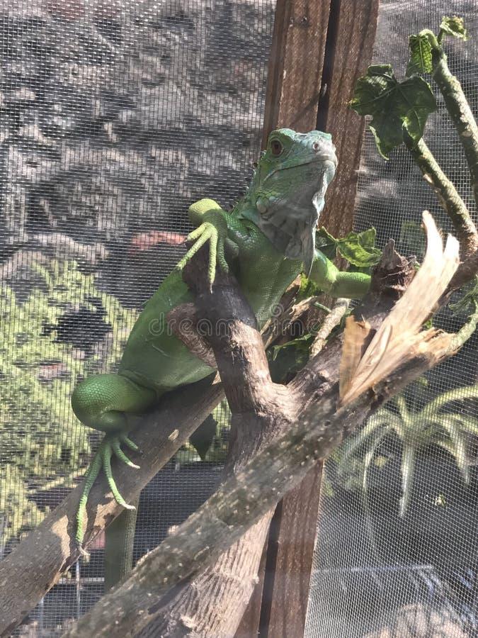 Verde da iguana imagem de stock
