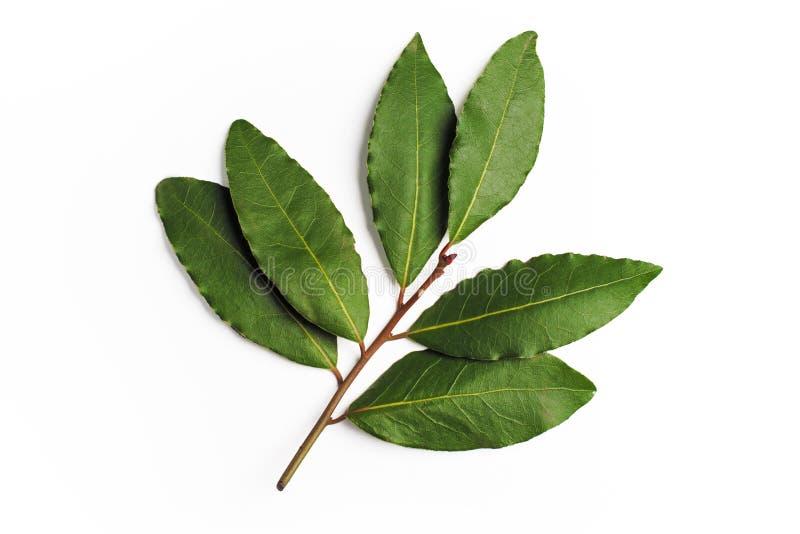 Verde das folhas de louro foto de stock