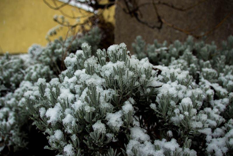 Verde de Bush sob o inverno da neve fotos de stock