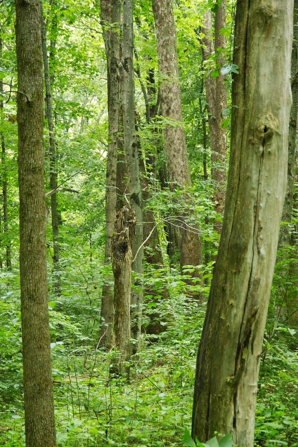 Verde De Floresta Imagens de Stock Royalty Free