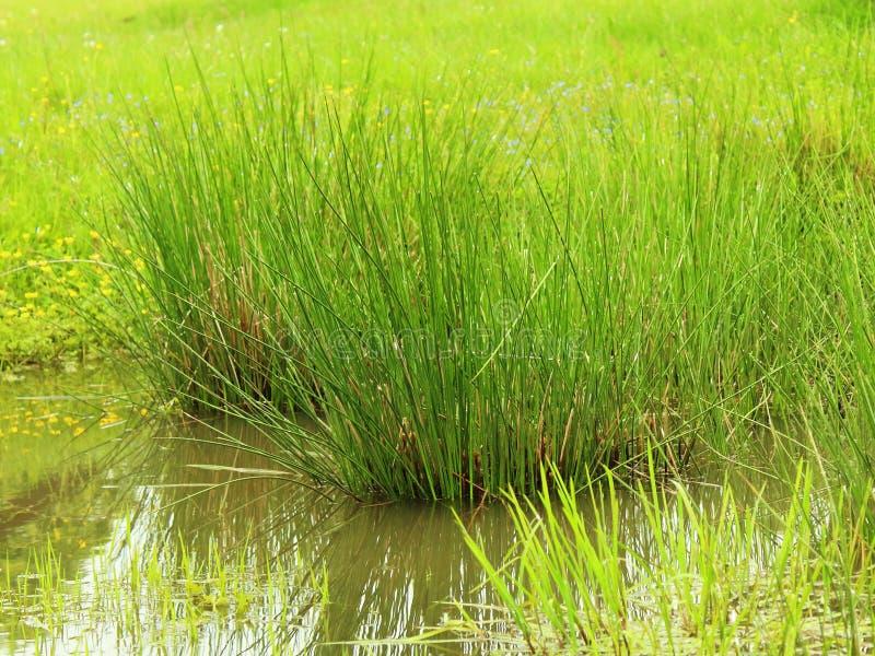 Verde de hierba del agua del pantano fotos de archivo libres de regalías