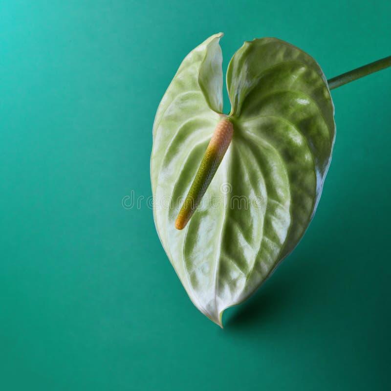Verde de la flor o del Anthurium de flamenco en un fondo de la aguamarina foto de archivo libre de regalías