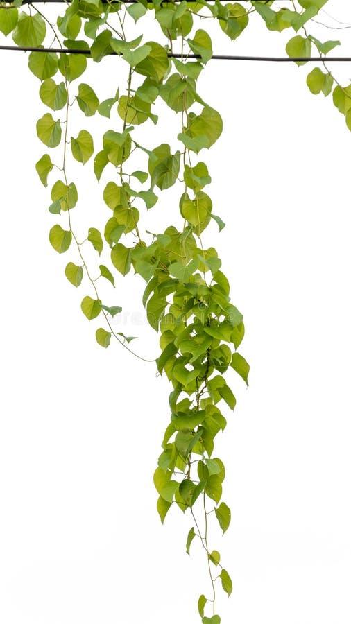 Verde de la hiedra con la hoja en fondo del blanco del aislante foto de archivo
