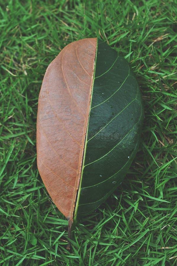 Verde de la mitad y media hoja seca del oto?o en fondo de la hierba verde fotografía de archivo