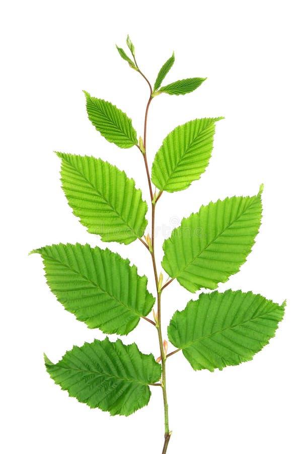 Verde de la ramita - hornbeam imagen de archivo