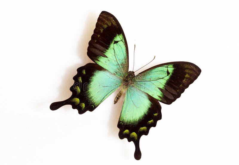 Verde de mar Swallowtail (lorquinianus de Papilio) imagens de stock royalty free