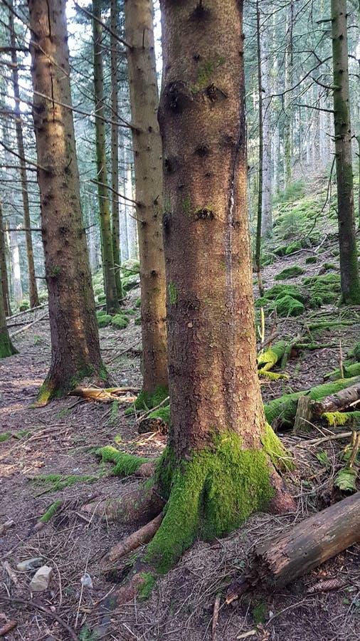 Verde de Sun da floresta da árvore fotos de stock royalty free