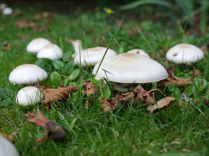 Verde dei forêts dei funghi prataioli immagini stock