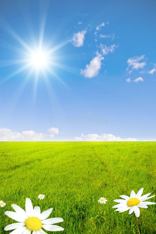 verde del campo della camomilla immagine stock libera da diritti