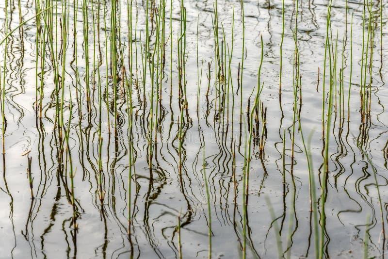Verde del fondo de la reflexión de las plantas de agua fotografía de archivo libre de regalías