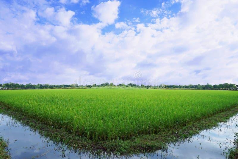 Verde del giacimento del riso fotografie stock