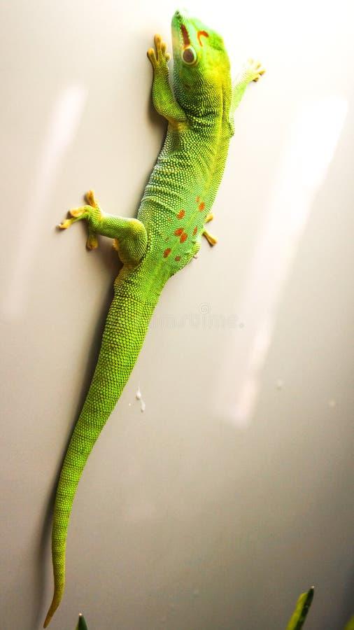 Verde del lagarto del anole de Caroline colorido subiendo para arriba la pared fotos de archivo libres de regalías
