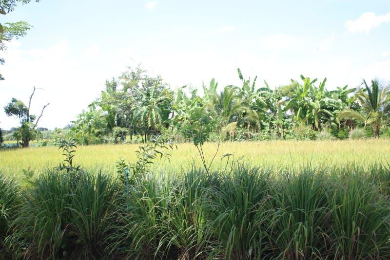 Verde del riso immagine stock libera da diritti