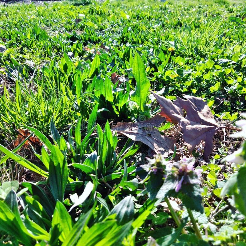 Verde dell'erba della sorgente?, fresco e sano fotografia stock libera da diritti