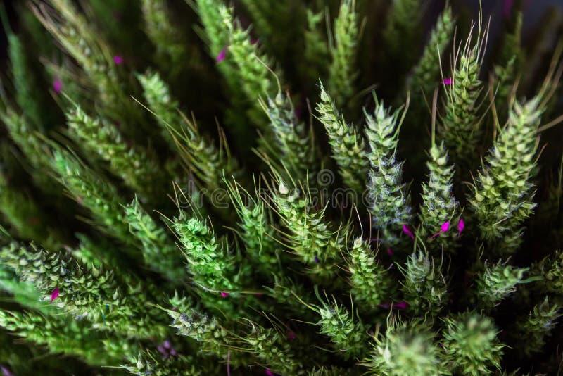 Verde dell'essiccazione dei cereali dell'avena, il rivestimento utilizzato nelle componenti del mazzo Quale è usato come i preced fotografia stock