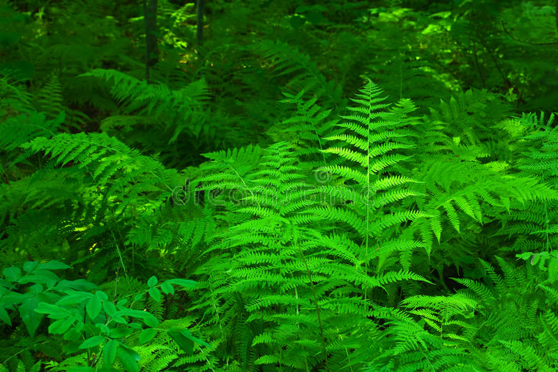 verde della felce fotografia stock