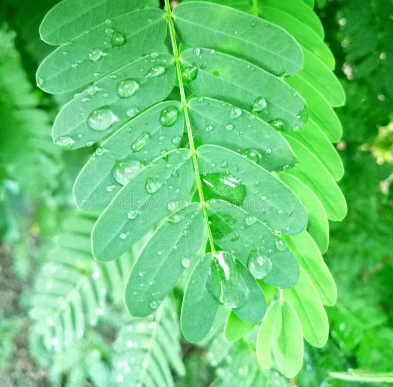 Verde della foglia del tamarindo dopo piovuto immagine stock libera da diritti