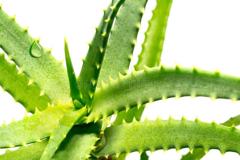 Verde della pianta dell'aloe con una goccia della macro del primo piano dell'acqua isolata su un fondo bianco immagine stock libera da diritti
