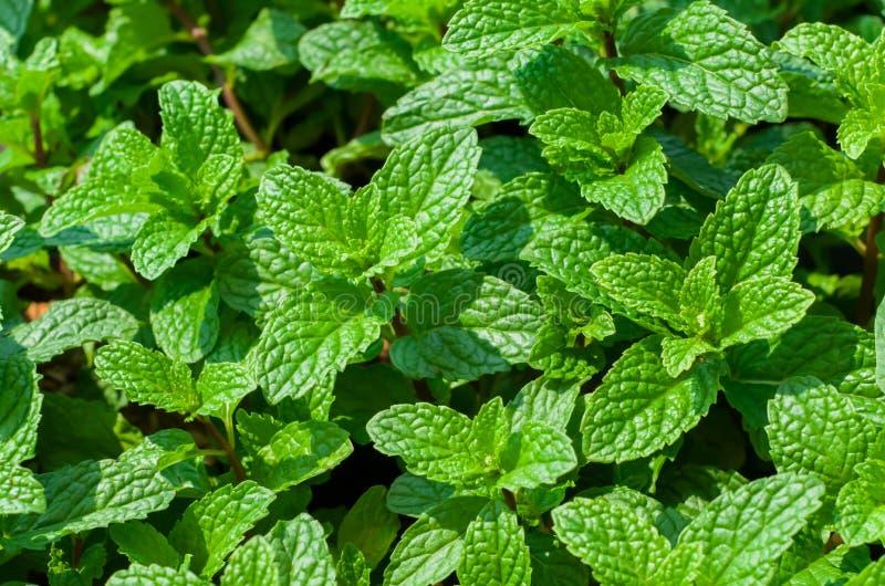 Verde delle foglie di menta La primavera spara con un profumo di rinfresco fotografia stock libera da diritti