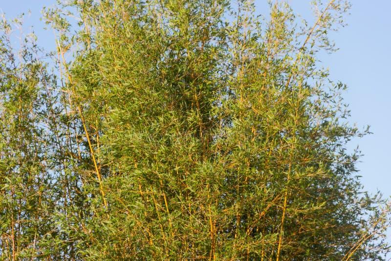 Verde di bambù della canna di estate immagini stock libere da diritti